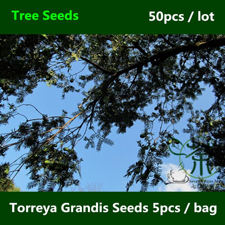 Evergreen chinese de alta calidad compra lotes baratos for Arboles ornamentales de hoja perenne