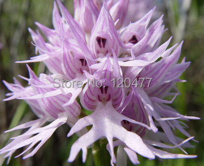 Orchis italica also known as Italian men orchid pyramid monkey orchid orchid testes 100 seeds lot