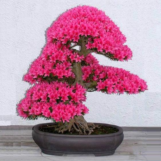 10pcs lot japanese sakura seeds bonsai flower Cherry Blossoms