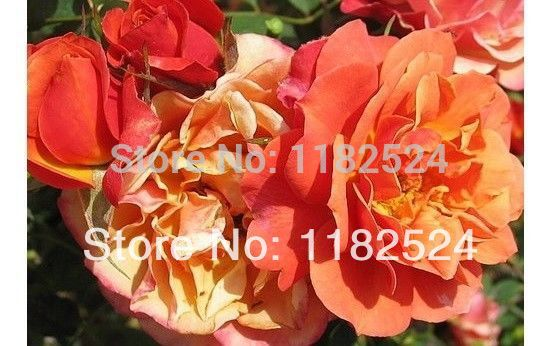 100 SEEDS - Rare DENVER DREAMS PATIO / PEACH YELLOW PINK ROSE SEEDS - Bonsai Flower Plant Seeds(China (Mainland))