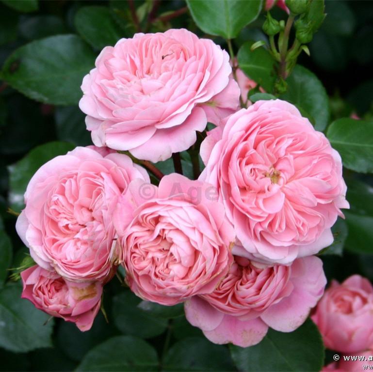 Rose seeds , Climbing Plants , Polyantha rose, Chinese Flower Seeds , Climbing Roses Seeds , 100 pcs/bag(Mixed color)(China (Mainland))
