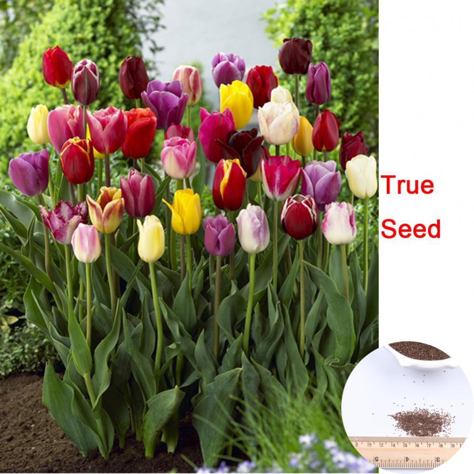 100 Pcs / Pack Tulip Seeds,tulipa Gesneriana,potted Plants, Planting Seasons, Flowering Plants(China (Mainland))
