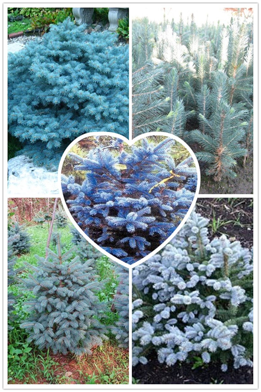 100 Pcs Colorado Blue fir seeds plants Blue Spruce Seeds Picea Tree Potted Bonsai Courtyard Garden Bonsai Plant Pine Tree Seeds(China (Mainland))