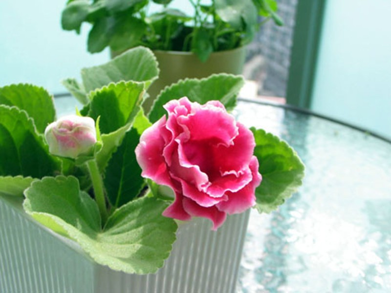 120 pcs Hot Sale Unique Red White Side Gloxinia Seeds Perennial Flowering Plants Sinningia Speciosa Bonsai Balcony Flower
