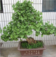 Buy 5 pcs / bag,Ginkgo seeds, potted seed, flower seed, variety complete, budding rate 95%, (Mixed colors) for $1.03 in AliExpress store