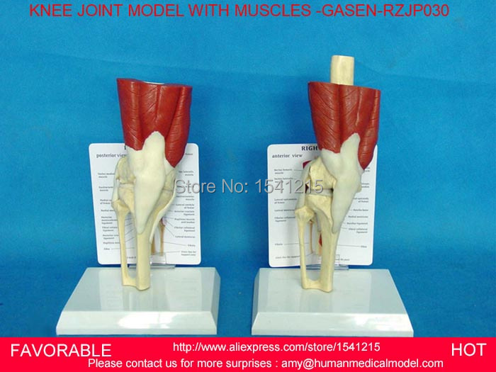 HUMAN SKELETON MODEL SWITH KNEE MUSCLE MODEL -GASEN-RZJP030(China (Mainland))
