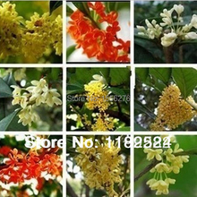 Buy 20 SEEDS Multi-Colored Osmanthus fragrans Seeds flower plant tree seeds * Free Shipping for $1.88 in AliExpress store