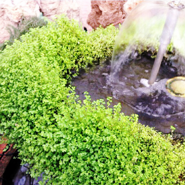 200 Rockery Grass Seed Rock Clover Fresh Green garden bonsai grass Seed High Appreciation valueF005(China (Mainland))