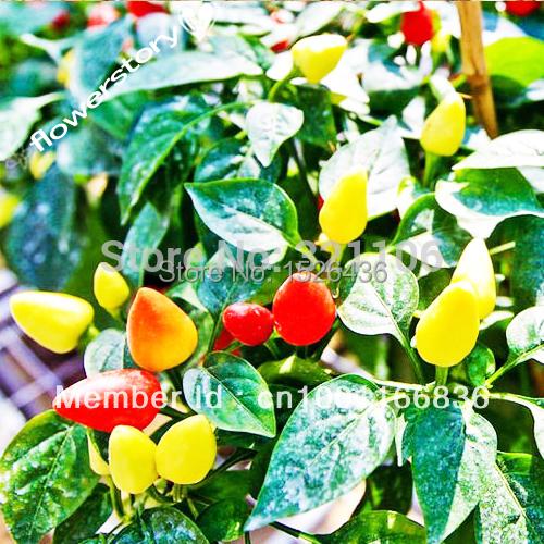 Organic Rainbow Bell Pepper 3000 Seeds, 240mg Free Shipping(China (Mainland))