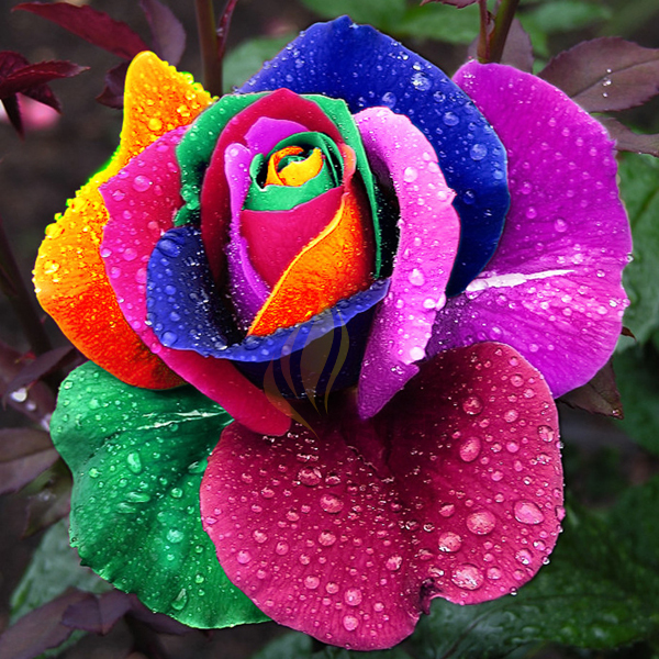 1 Professional Rose, 400 seeds / pack, Rainbow Rose, Different Colors Available (400 seeds / color)