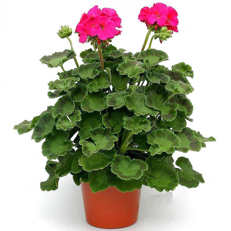 Герань цветы в горшках